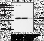 IP Receptor (mouse) Polyclonal Antibody
