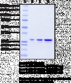STING AQ variant (human, recombinant)