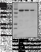 L3MBTL1 MBT domains (human recombinant; GST-<wbr/>tagged)