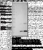 Citrullinated Core Histones (bovine)