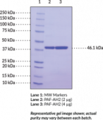PAF Acetylhydrolase 2 (human, recombinant)