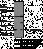 Histone H3.3 Polyclonal Antibody