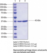 BRD2 bromodomain 2 (human, recombinant)