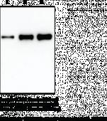 COX-2 (ovine) Electro<wbr/>phoresis Standard