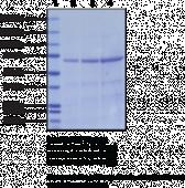 Hsp70 (human recombinant, baculovirus expressed)