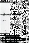 NAPE-<wbr/>PLD (N-<wbr/>Term) Polyclonal Antibody