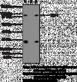 Bnc 1 Polyclonal Antibody