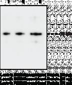 PAD2 Monoclonal Antibody (Clone 9F7)