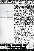 EP<sub>4</sub> Receptor (C-<wbr/>Term) Polyclonal Antibody