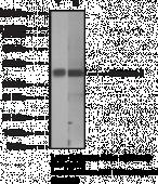 Caspase-<wbr/>1 Monoclonal Antibody (Clone 14F468)