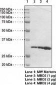 MBD2 (human recombinant; methyl binding domain aa 150-<wbr/>220)