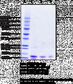 Ubiquitin (human recombinant; His-tagged)