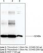 Thioredoxin 1 (mouse) Polyclonal Antibody