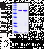 15-<wbr/>Lipoxygenase-<wbr/>2 (human recombinant)