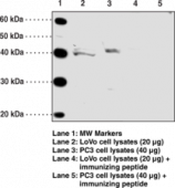 FFAR4 (GPR120) (Internal) Polyclonal Antibody