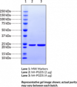 Prostaglandin D Synthase (hemato<wbr/>poietic-type; human recombinant)