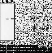 HA Polyclonal Antibody