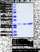 STING R232 variant (human, recombinant)