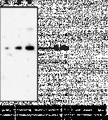 Prostaglandin D Synthase (lipocalin-<wbr/>type; human) Monoclonal Antibody (Clone 10A5)