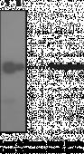 Podoplanin Monoclonal Antibody (Clone NZ-<wbr/>1.2)