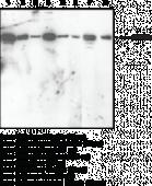 Nrf2 (C-Term) Polyclonal Antibody