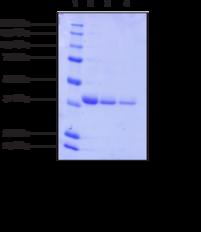 S-Catechol O-<wbr/>Methyl<wbr>transferase (human, recombinant)