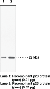 Prostaglandin E Synthase (cytosolic, FL) Polyclonal Antibody