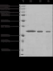 WDR5 (human recombinant)