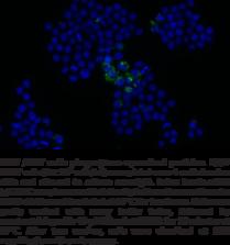 Phagocytosis Assay Kit (IgG FITC)