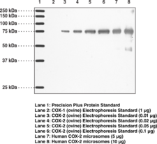 COX-2 (human) Monoclonal Antibody (Clone CX229)