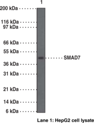 SMAD7 Polyclonal Antibody