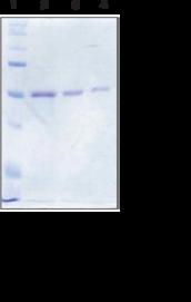 SIRT6 (human recombinant)