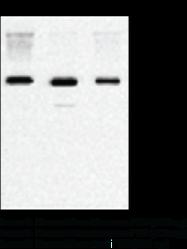 FTO (human) Monoclonal Antibody (Clone FT 86-<wbr/>4)