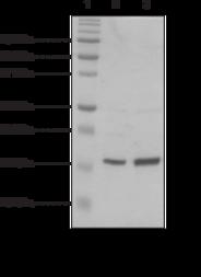 Histone H2B (<em>Xenopus</em> recombinant)