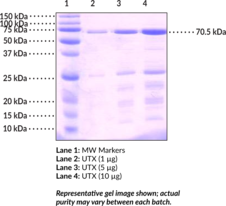 UTX (human, recombinant)