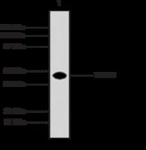 TRAF5 Monoclonal Antibody (Clone 55A219)