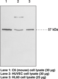GPR17 (C-<wbr/>Term) Polyclonal Antibody