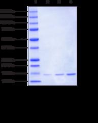 Histone H2A (<em>Xenopus</em>, recombinant)