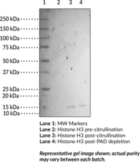 Citrullinated Histone H3 (human recombinant)