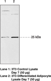 AdPLA<sub>2</sub> Polyclonal Antibody