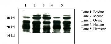 Prion Protein Monoclonal Antibody - SAF 70