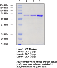 G9a-<wbr/>like protein (human recombinant)