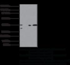 SMAD3 Polyclonal Antibody