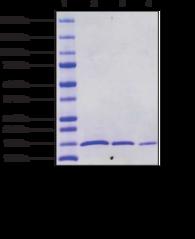Histone H4 (human, recombinant)