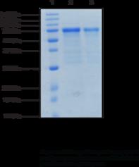 G9a (human recombinant)