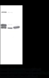 Programmed Cell Death Protein 4 (C-<wbr/>Term) Polyclonal Antibody