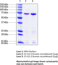 15-<wbr/>Lipoxygenase-<wbr/>2 (human, recombinant)