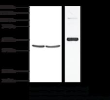 TP Receptor (human) Polyclonal Antibody