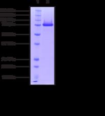 PAD2 (human recombinant)