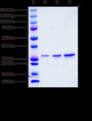 STING R232 variant (human recombinant)